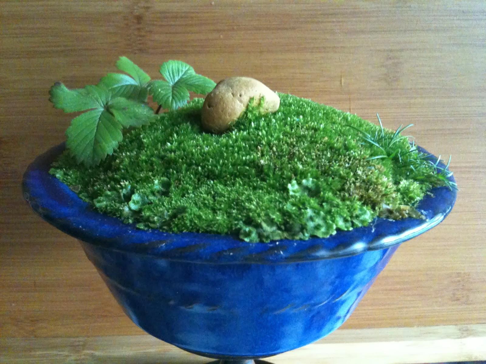 semillas musgo