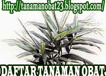 http://tanamanobat23.blogspot.com/2015/03/tanaman-obat-halia-zingeber-officinale.html