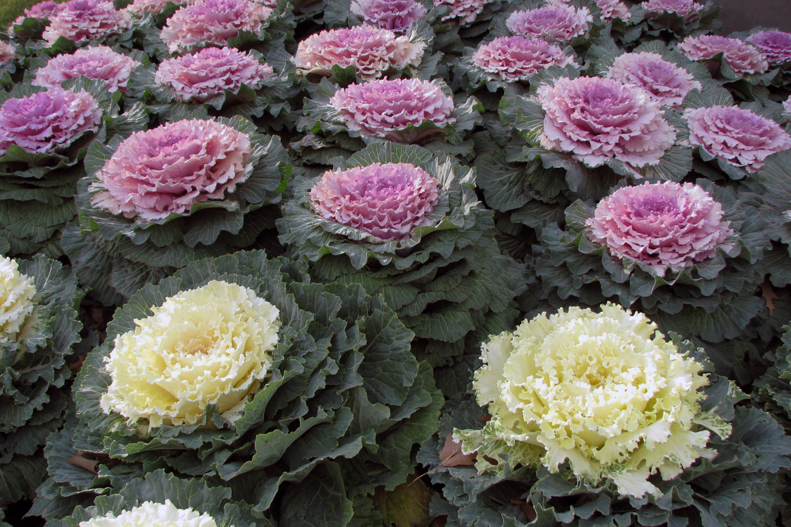 Gardens inspired fall blooming flowers and plants for Cocinar kale