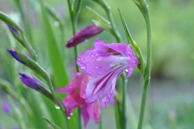 Гладиолус болотный (Gladiolus palustris Gaudin)