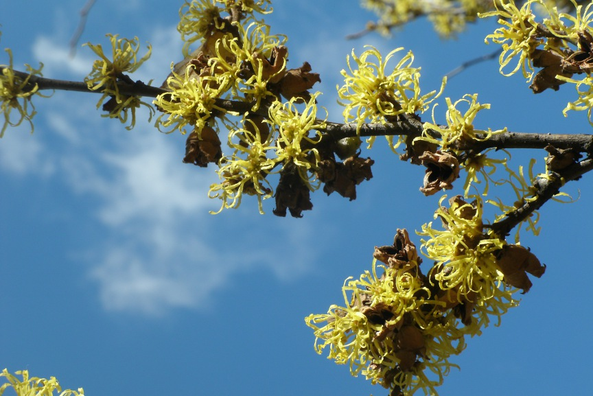 Common witch hazel (Hamamelis virginiana) blooms at Toronto Music Garden by Paul Jung Toronto organic ecological gardening services