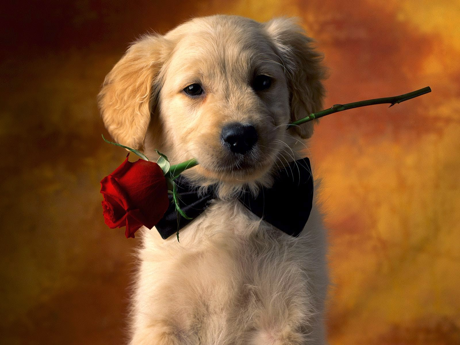 Animal Cute Dog With Rose Love HD Photos