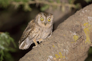 Arabian Scops Owl (Otus pamelae)