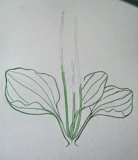 Подорожник нарисовать карандашом поэтапно