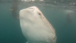 Whale shark goes vertical