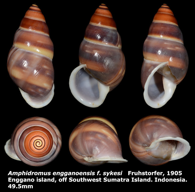 Amphidromus enganoensis f. sykesi 49.5mm