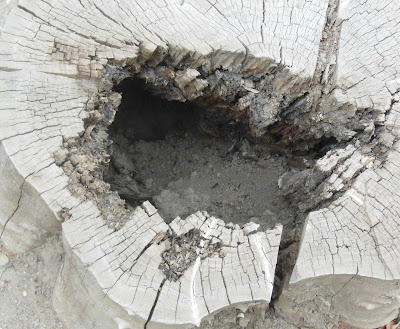 Squirrel Hole in Stump at Mission San Miguel, © B. Radisavljevic