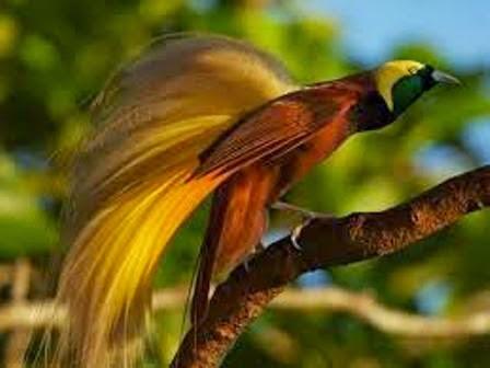 Burung Cendrawasih Burung Surga