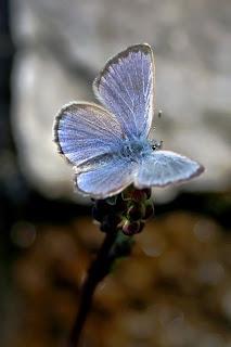 Para ampliar Glaucopsyche melanops (Escamas azules) hacer clic