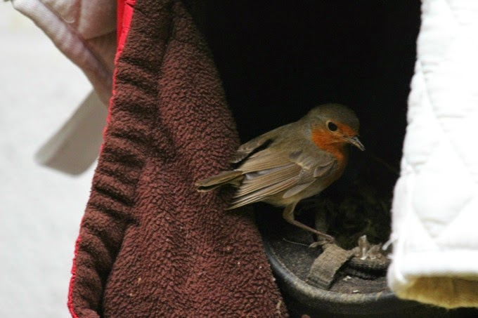 Robin in the nest at the horse riding stables