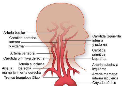 Sistema Circulatorio: Vascularización de cabeza y cuello