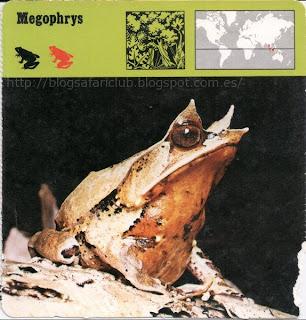 Blog Safari Club, El Megophrys, tiene buen cuidado de no chocar con sus apéndices