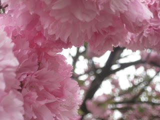 Pink blossoms in a Parisian garden