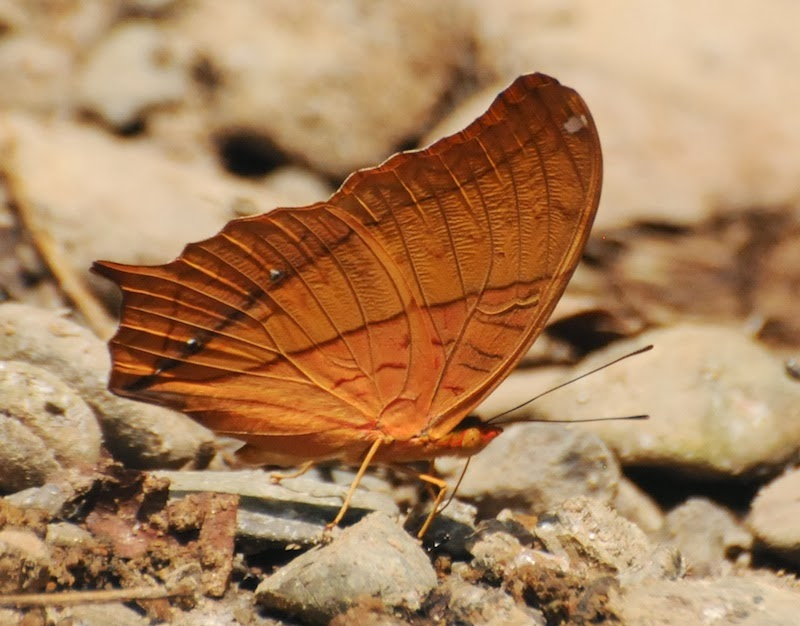 A Wandering Naturalist: Thailand: Butterfly Portraits