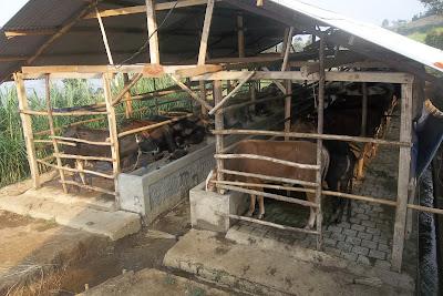 harga sapi qurban kurban kambing 2013 kandang atas