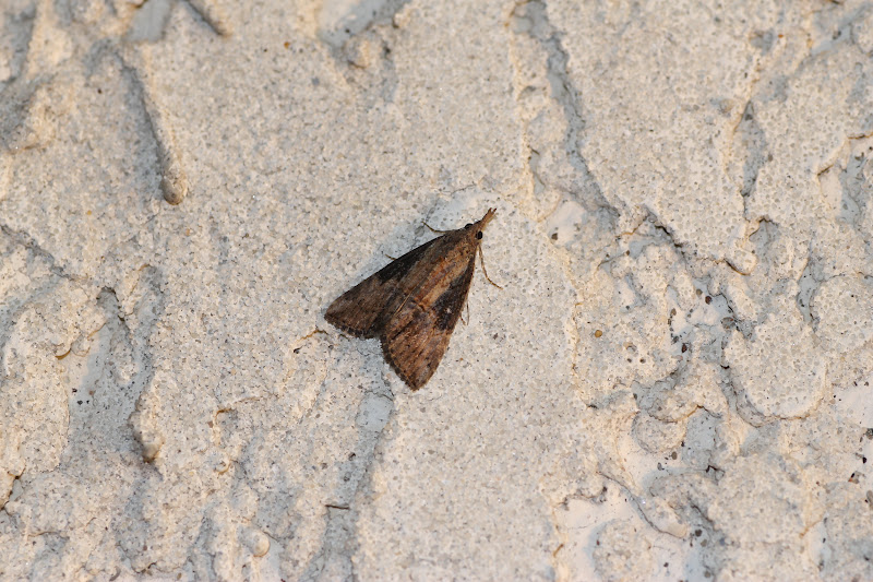 Distracted naturalist little brown moth watching party for Tiny moths in bathroom