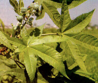 tanaman jarak mengobati gangguan sembelit