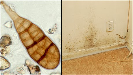 safe mold solutions effective mold removal Mold is a microorganism that occurs naturally in our environment while some mold is relatively harmless, others are toxic and, when left untreated in a home, can pose severe health risks while causing damage to your house.