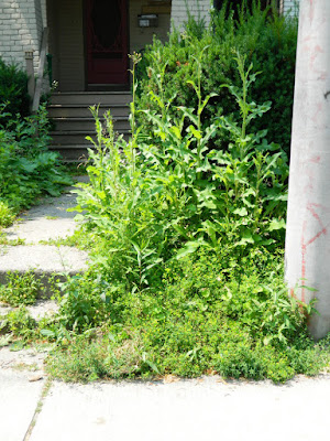 Front garden clean up Leslieville before Paul Jung Gardening Services