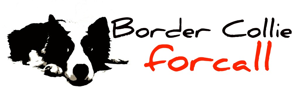 - Border Collie Forcall -