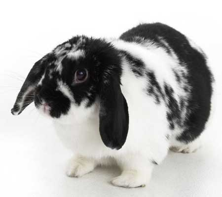 Most Popular Best Pets In The World - Rabbits