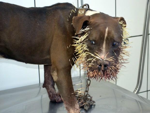 Pin Brazilian Pit Bull Dog on Pinterest