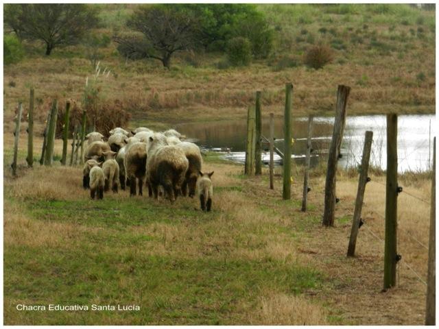 Las ovejas bajan a tomar agua al tajamar grande - Chacra Educativa Santa Lucía