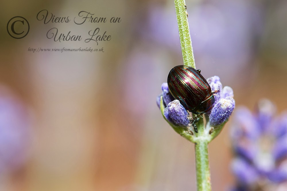 Rosemary Leaf Beetle - Great Holm, Milton Keynes
