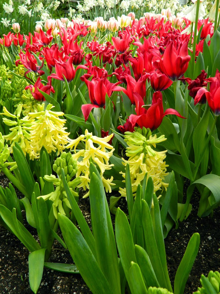 Yellow hyacinths red tulips Centennial Park Conservatory 2015 Spring Flower Show by garden muses-not another Toronto gardening blog