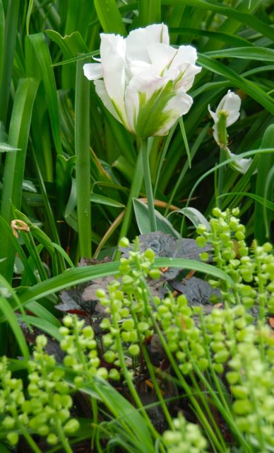 The petals of Tulip 'China Town' get more creamy than pink as they mature. The seed heads of grape hyacinths, Muscari armenicum, are at their feet, along with dark-leaved Heuchera 'Palace Purple.'