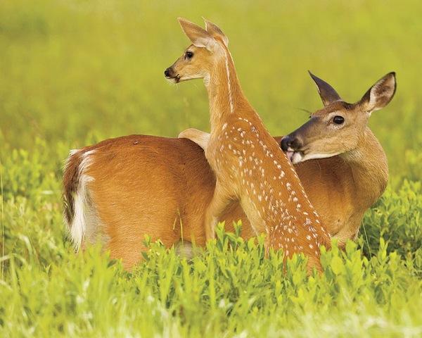 Deer wild love