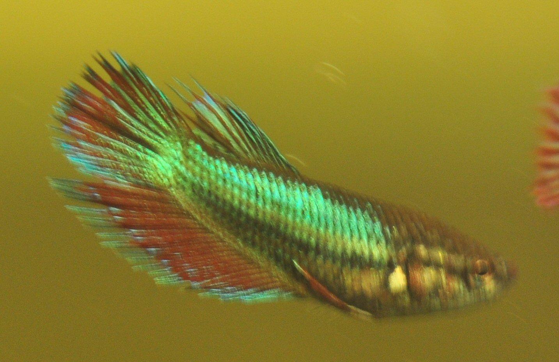 Beautiful betta for Rare betta fish