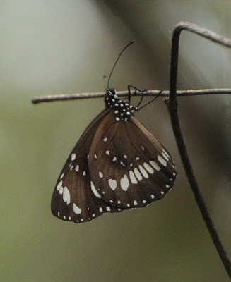 Common Crow (Euploea core)