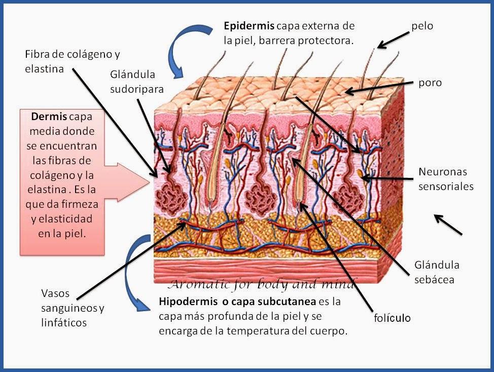 Cosmetica Artesanal con Aromatic : Composición de la piel