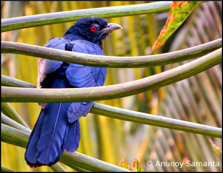 Cuckoos consume half of our garden Papayas