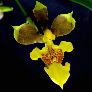 Oncidium longipes,  Gomesa longipes, Oncidium janeirense,   Oncidium biflorum, Oncidium unicolor,  Alatiglossum unicolor,  Gomesa unicolor, Oncidium uniflorum, Alatiglossum uniflorum,  Gomesa uniflora,