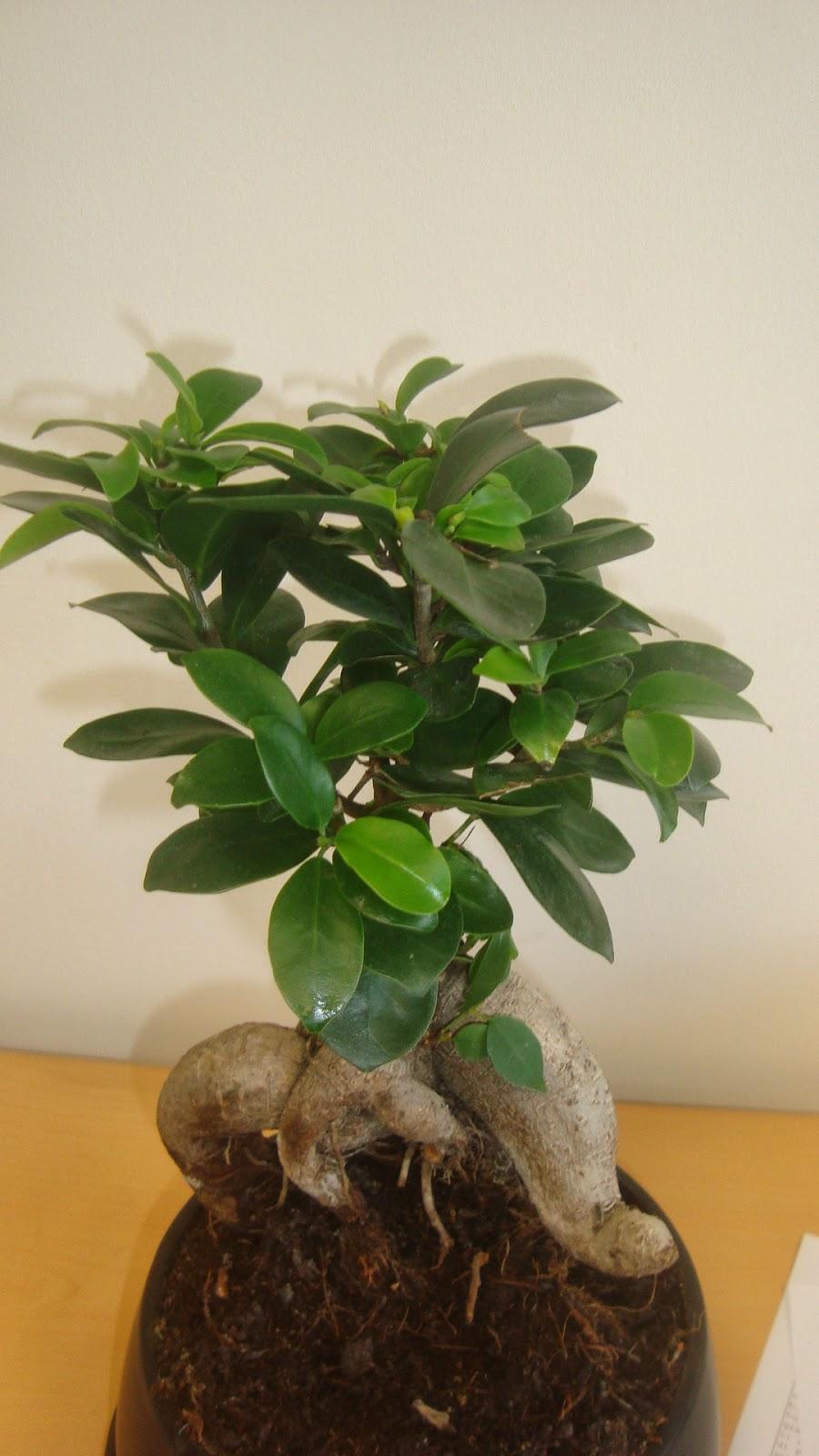 Cuidar un bonsai interesting estoy muy interesada en - Como se cuida un bonsai ...
