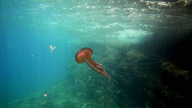 Entre l neas el a o de las medusas - Como se alimentan las medusas ...