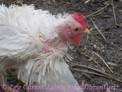 All chickens will molt annually, their first annual molt generally occurring around 16-18 months of age. During a molt, chickens will lose their feathers and grow new ones.