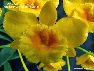 Dendrobium chrysotoxum, Dendrobium suavissimum, Callista suavisima
