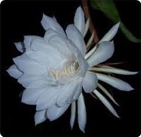 kembang wijayakusuma cilacap
