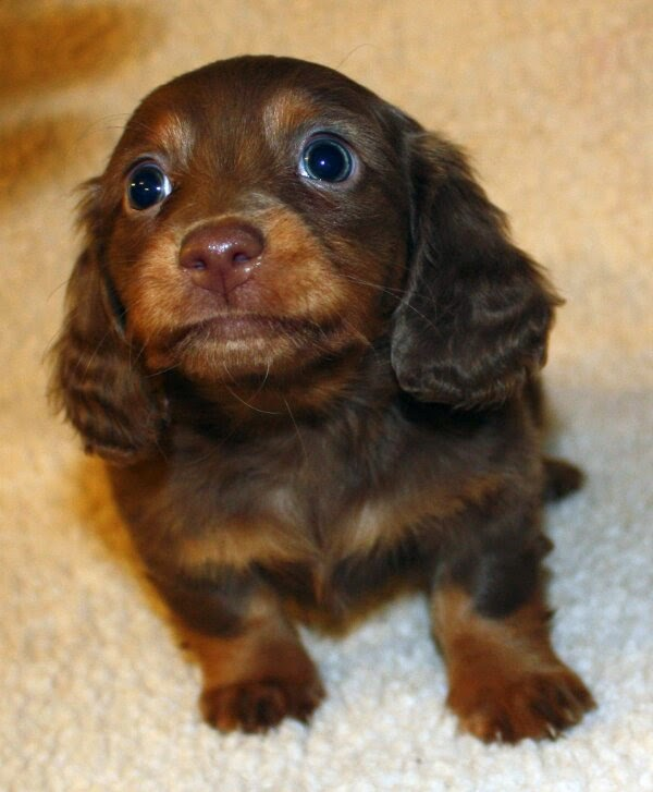 Cute dogs - part 8 (50 pics), cute spaniel puppy