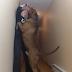 Maior pitbull do mundo pesa cerca de 78 quilos
