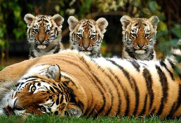 Cute tiger with child 720p HD Wallaper