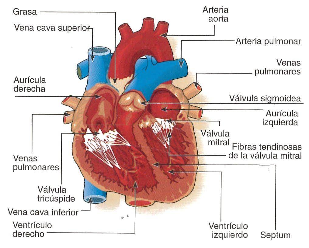 TEMA 6 :Función de nutrición: Art 16: imágen de la anatomía externa ...