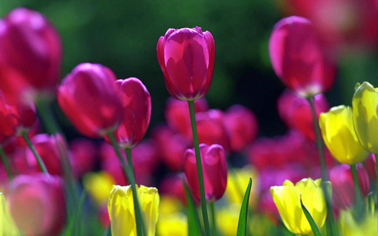 tulips in the spring - photo #11