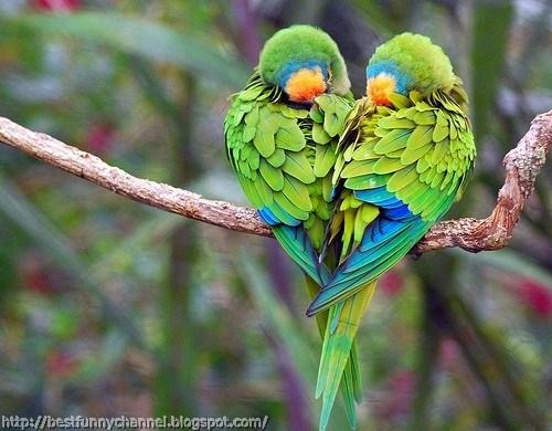 Two parrots heart.