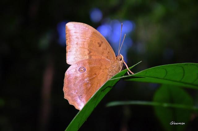 雞南山方環蝶