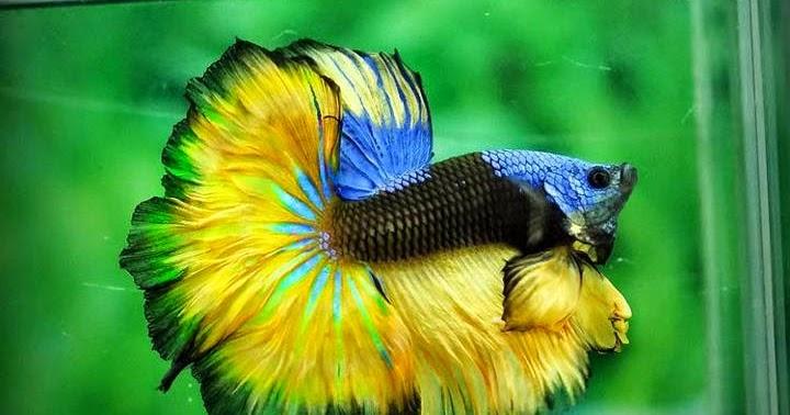 Cara Mudah Budidaya Ikan Cupang - Dunia Akuarium