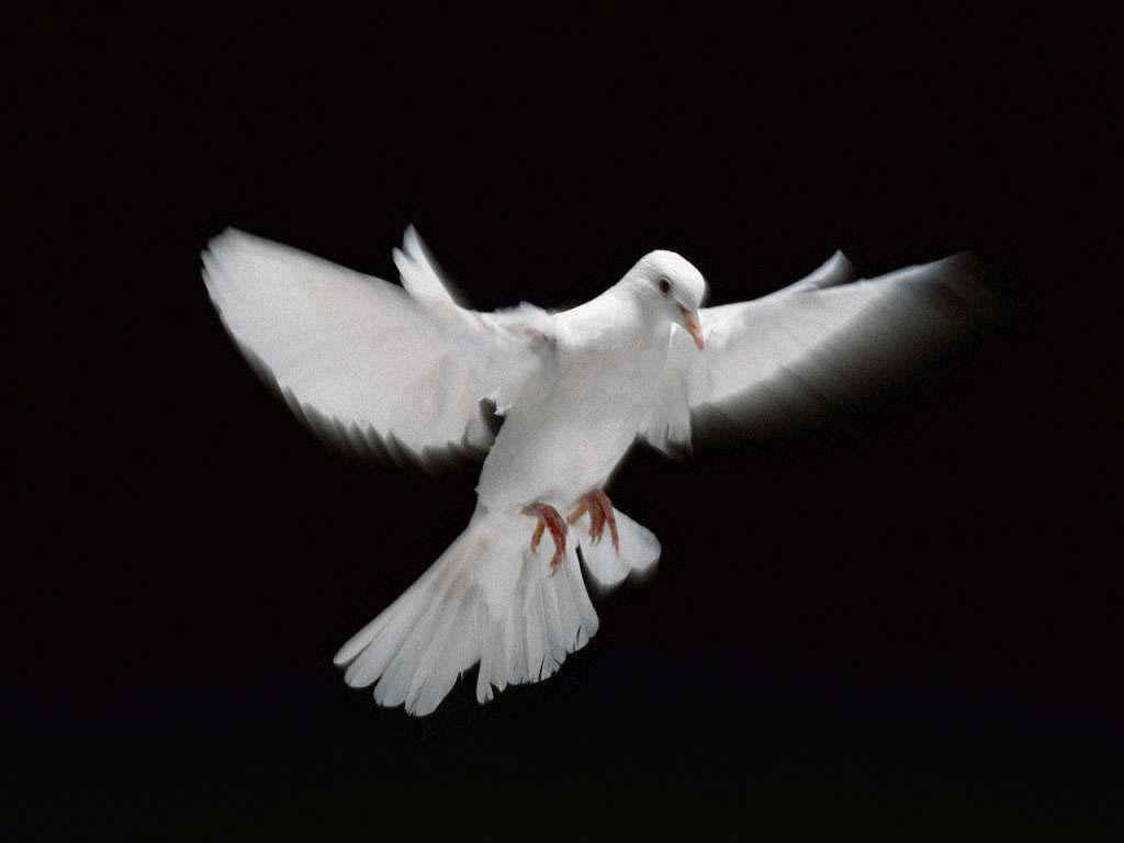 gambar burung merpati putih